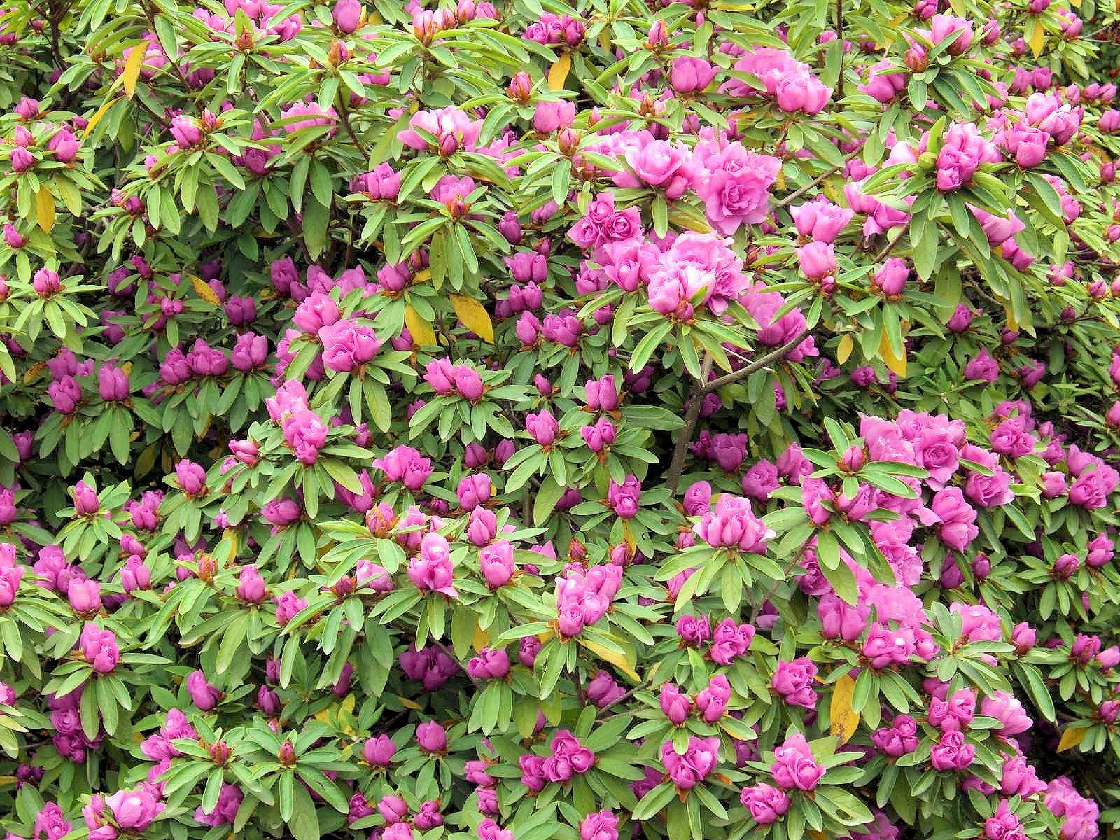 群馬県:つつじヶ丘公園の八重大紫ツツジ